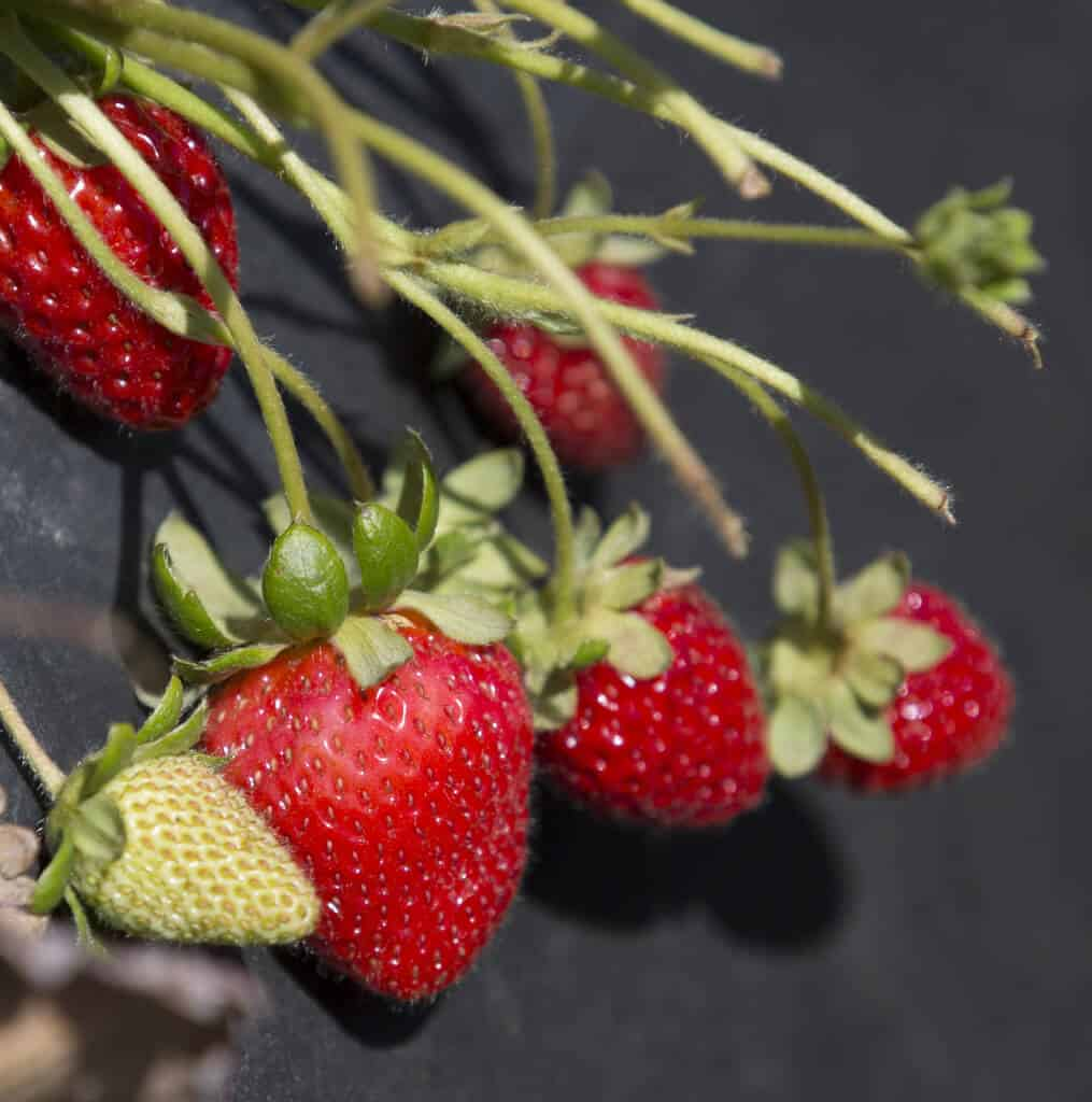 California Strawberry Commission bloggers farm tour 2015. #MakeHealthyEasy via @JBraddockRD   SANTA MARIA, Calif., June 24, 2015.<br /> California Strawberry Commission Blogger Field Tour in SANTA MARIA Calif., June 24, 2015. Photo by Robert Durell